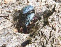 Copulare degli scarabei Fotografia Stock