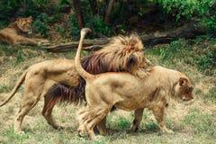 Copulare della leonessa e del leone immagini stock libere da diritti