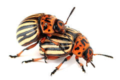 Copulate colorado beetles. Two colorado beetles are copulating on the isolated background Stock Images