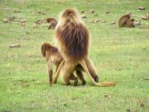 Copulating baboons stock photos