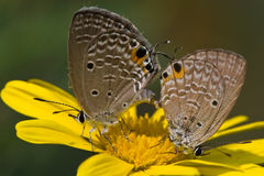 Copulating butterflies Royalty Free Stock Photography