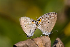 Copulating butterflies Royalty Free Stock Image