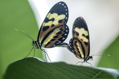 copulating butterflies extreme close up Stock Image