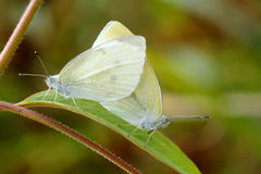 Copulating butterflies Royalty Free Stock Images