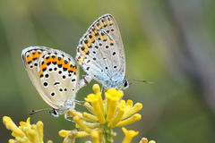 Copulating butterflies Stock Photos
