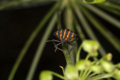 Copulating Italian Striped-Bugs or Minstrel Bugs Royalty Free Stock Photos