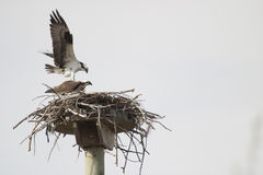 Copulating osprey Stock Photo