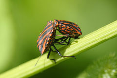Copulating shield bugs Royalty Free Stock Photo