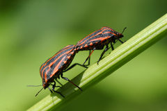Copulating shield bugs Royalty Free Stock Image