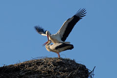 Copulating storks Royalty Free Stock Photos