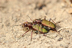 Copulating tiger beetles Stock Image