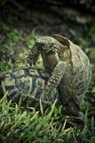 Copulating turtles Stock Photo
