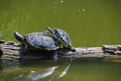 Copulating turtles. Two copulating turtles on a tree in water Royalty Free Stock Image