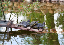 Copulating turtles in water Stock Image