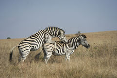 Copulating zebras Stock Images
