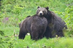 A copulation of brown bears Royalty Free Stock Photos