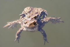 Copulation the frogs Royalty Free Stock Photos