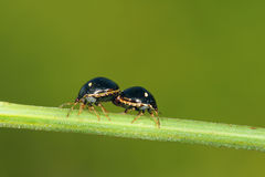Copulatory beetle Royalty Free Stock Image