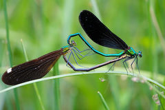 Copulatory damselfly. A pair of damselfly are mating. Scientific name: Mnais mneme Royalty Free Stock Images