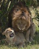 Copuler de lions Photos libres de droits