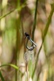 Copuler des libellules sur des îles de Perhentian Photo libre de droits