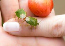 Copuler vert d'insecte du bouclier deux images stock