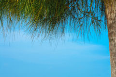 Copyspace, δέντρα πεύκων που πλαισιώνει το μπλε ουρανό Στοκ εικόνες με δικαίωμα ελεύθερης χρήσης