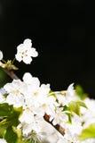 Copyspace цветения Яблока Стоковая Фотография RF