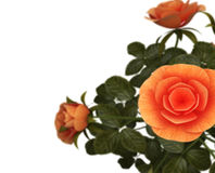 Copyspace Roses Represents Flora Romance And Bloom Stock Photography