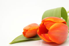 Copyspace tulip Royalty Free Stock Photo