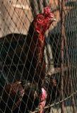 Coq à Bangkok, Thaïlande Photos stock