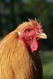 Coq étroit à la ferme Photo stock