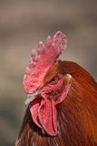 Coq photographie stock