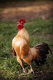 Coq Photos stock