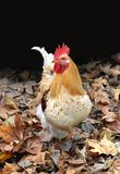 Coq Image stock