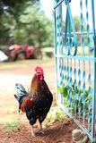 Coq Photos stock