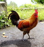 Coq Photo stock