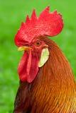 Coq Photo libre de droits