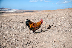 Coq Images stock