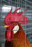 Coq Photographie stock libre de droits