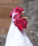 Coq photos libres de droits