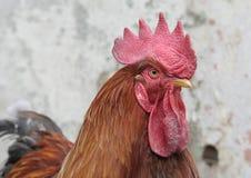 Coq Photo stock