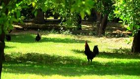 Coq avec des poulets marchant sur un pré vert banque de vidéos
