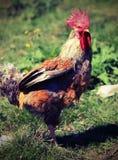 coq avec une grande crête rouge sur la tête avec l'effet de vintage Photos stock