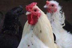 Coq blanc Image stock