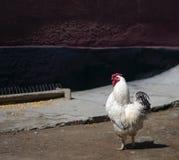 Coq blanc Photographie stock libre de droits