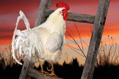 Coq blanc se reposant sur la barrière augmentation du soleil Photos libres de droits