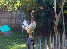 Coq blanc sur la barrière Coq blanc dans la cour ensoleillée de village Belles plumes de coq Photographie stock libre de droits