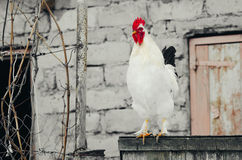 Coq blanc sur la porte Photo stock
