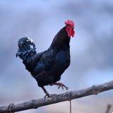 Coq coloré images stock